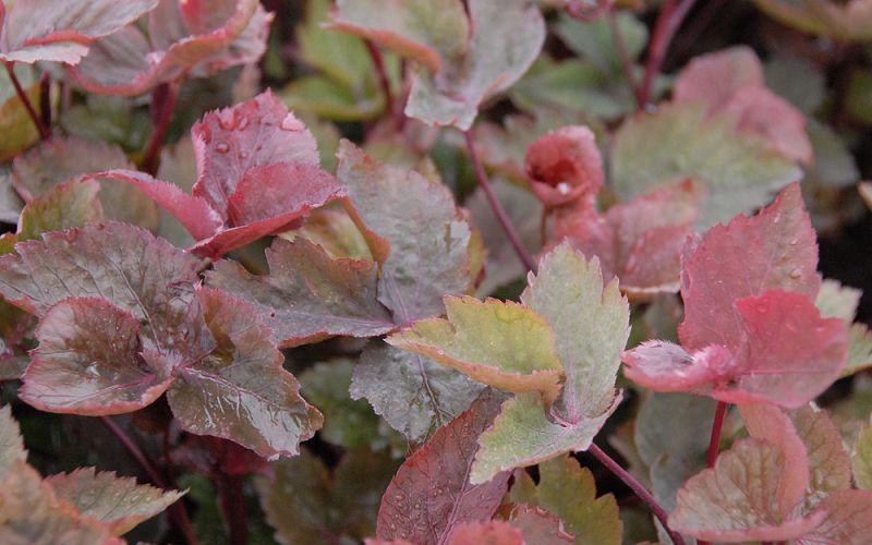 cryptotaenia japonica 39 purpurascens 39 japanische purpur. Black Bedroom Furniture Sets. Home Design Ideas