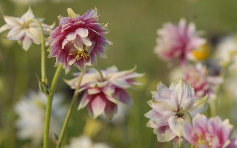aquilegia vulgaris hybride 39 nora barlow 39 spornlose. Black Bedroom Furniture Sets. Home Design Ideas