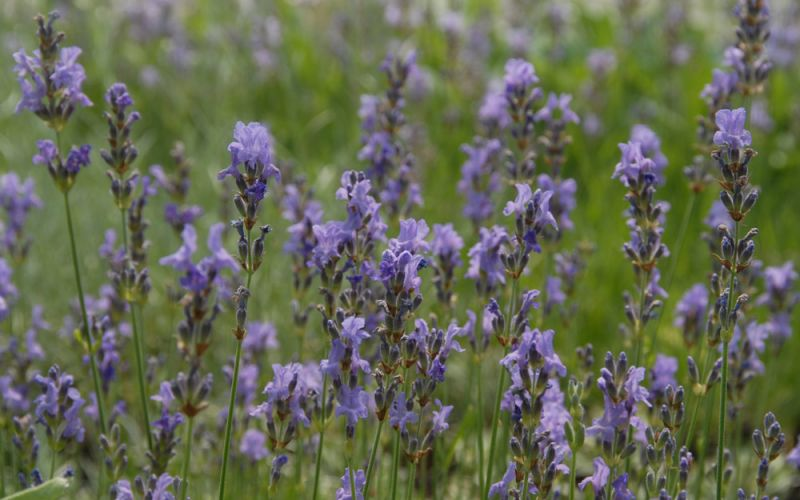 lavandula angustifolia 39 dwarf blue 39 garten lavendel allg ustauden bio logisch. Black Bedroom Furniture Sets. Home Design Ideas