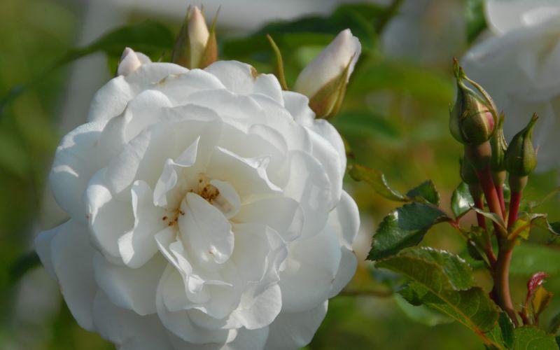 rosa 39 schneewittchen 39 strauch rose allg ustauden bio. Black Bedroom Furniture Sets. Home Design Ideas