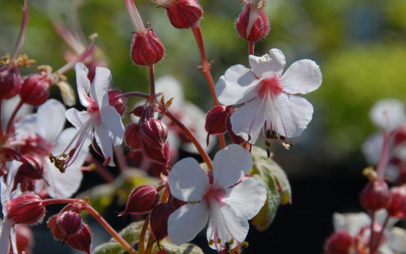 geranium macrorrhizum 39 spessart 39 balkan storchschnabel allg ustauden bio logisch. Black Bedroom Furniture Sets. Home Design Ideas