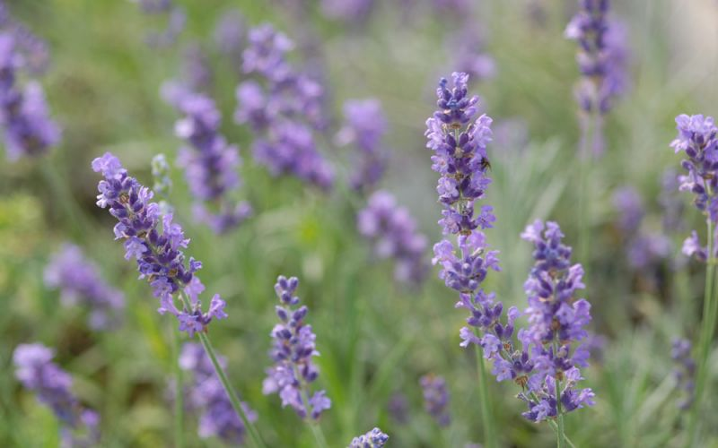 Lavandula angustifolia u0026#39;Silver Blueu0026#39; - Garten-Lavendel ...