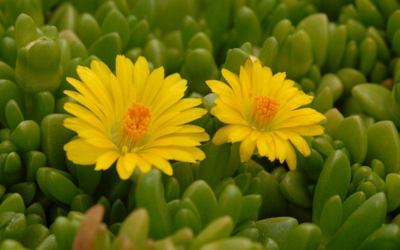 Delosperma nubigenum Mittagsblümchen winterharte Steingarten-Pflanze,Staude