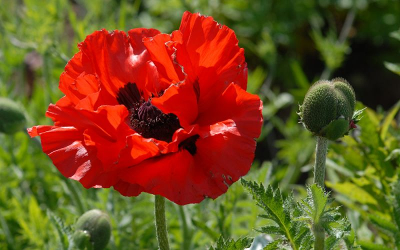 papaver orientale 39 tango 39 t rkischer mohn. Black Bedroom Furniture Sets. Home Design Ideas