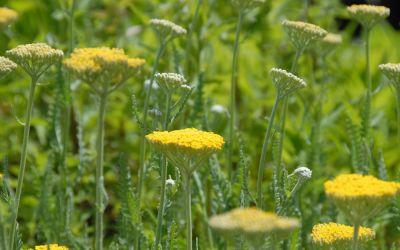 Achillea filipendulina Coronation Gold - Schafgarbe