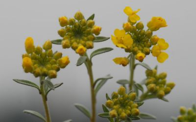 Alyssum wulfenianum - Berg-Steinkraut