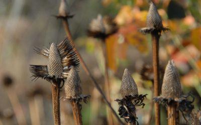 Echinacea purpurea Alba - Scheinsonnenhut
