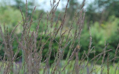 Molinia caerulea Moorhexe - Moor-Pfeifengras, Besenried