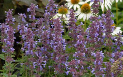 Nepeta grandiflora Blue Danube - Katzenminze, Blauminze