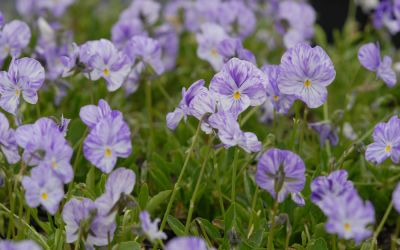 Viola cornuta Columbine - Horn-Veilchen