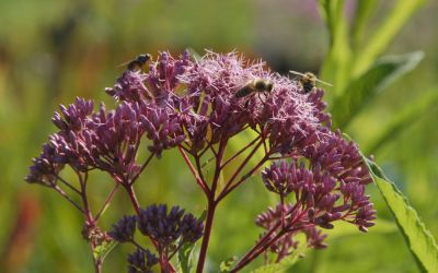 Eupatorium maculatum Purple Bush - Purpurdost