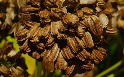 Angelica archangelica (BLBP 01) - Engelwurz