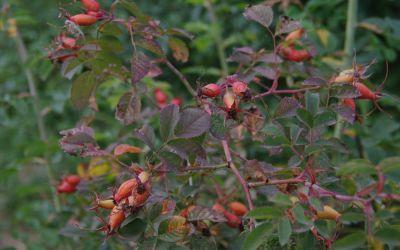 Rosa PiRo 03 - Strauch-Rose, Pillnitzer Vitamin-Rose