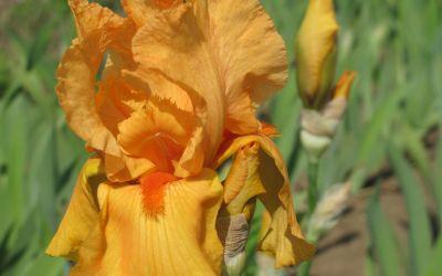 Iris barbata-elatior Feu du Ciel - Hohe Bart-Iris, Schwertlilie