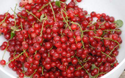 Rote Johannisbeere Lisette ® - Ribes rubrum