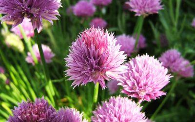 Allium schoenoprasum - Schnitt-Lauch