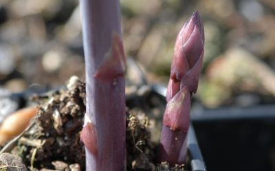Asparagus officinalis Pacific Purple - Purpur-Spargel