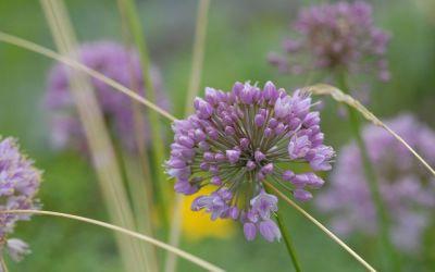 Allium Hybride Pink Planet - Kugel-Lauch