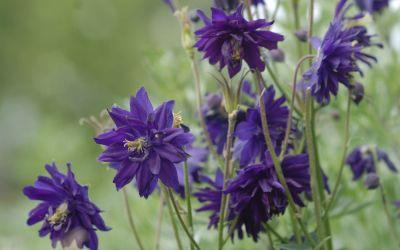 Aquilegia Vulgaris-Hybride Blue Barlow - Spornlose Akelei