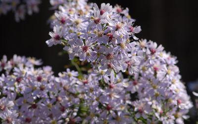 Aster cordifolius Blütenregen - Wald-Aster, Schleier-Aster