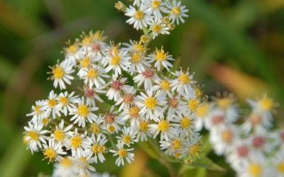 Aster glehnii Agleni - Kleinblütige Herbst-Aster