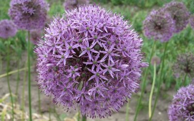 Allium Gladiator - Sternkugel-Lauch