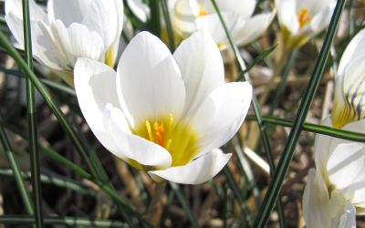 Crocus chrysanthus Ard Schenk - Botanischer Krokus