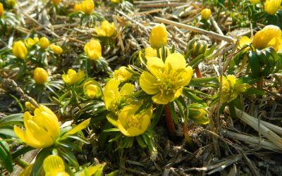 Eranthis cilicica - Winterling