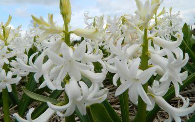 Hyacinthus orientalis White Pearl - Hyazinthe