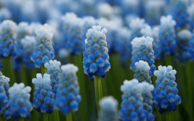 Muscari armeniacum Lady Blue - Traubenhyazinthe