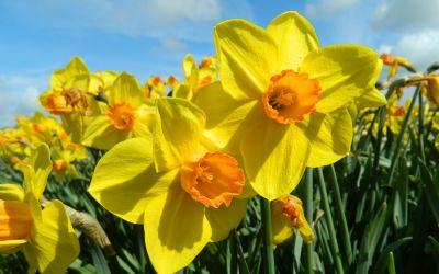 Narcissus Brackenhurst - Großkronige-Narzisse