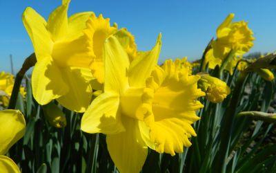 Narcissus Dutch Master - Trompeten-Narzisse