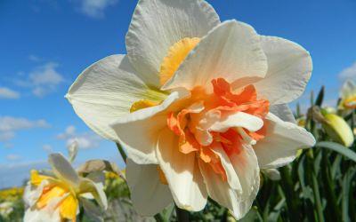 Narcissus Replete - Gefüllte Narzisse