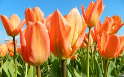 Tulipa fosteriana Orange Emperor - Fosteriana-Tulpe