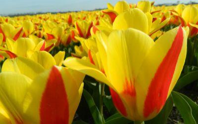 Tulipa kaufmanniana Stresa - Seerosen-Tulpe