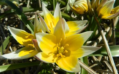 Tulipa tarda - Wildtulpe
