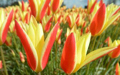 Tulipa clusiana Tinka - Wildtulpe