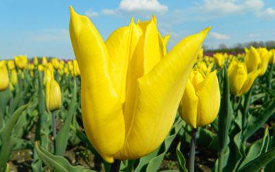 Tulipa Yokohama - Triumph-Tulpe