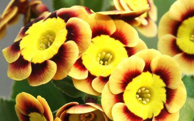 Primula Auricula-Hybride Hanni ©Bock - Garten-, Schau-Aurikel