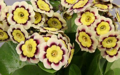Primula Auricula-Hybride Stanzerl ©Bock - Garten-, Schau-Aurikel