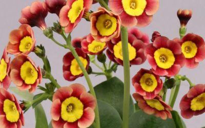 Primula Auricula-Hybride Traudl ©Bock - Garten-, Schau-Aurikel