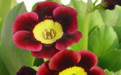 Primula Auricula-Hybride Liesl ©Bock - Garten-, Schau-Aurikel