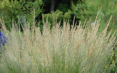 Calamagrostis x acutiflora Waldenbuch - Garten-Reitgras