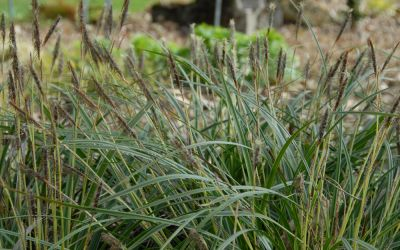 Carex morrowii Variegata - Weißrand-Japan-Segge