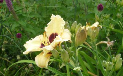 Hemerocallis Hybride Siloam Ury Winniford - Kleinblütige Taglilie