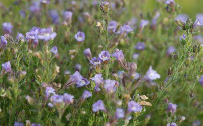 Chaenarrhinum origanifolium - Scheinlöwenmäulchen, Klaffmäulchen