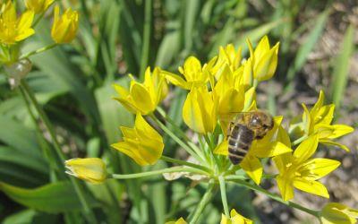 Allium moly Jeannine - Goldlauch