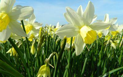 Narcissus Sailboat - Jonquilla-Narzisse