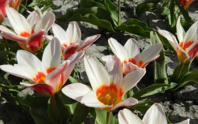 Tulipa kaufmanniana Ancilla - Seerosen-Tulpe