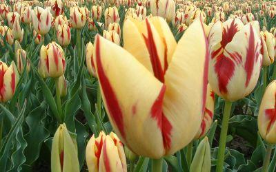 Tulipa Grand Perfection - Triumph-Tulpe